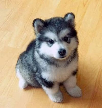 Pomsky (Pomeranian Husky Mix)! I want one! / puppies galore ...