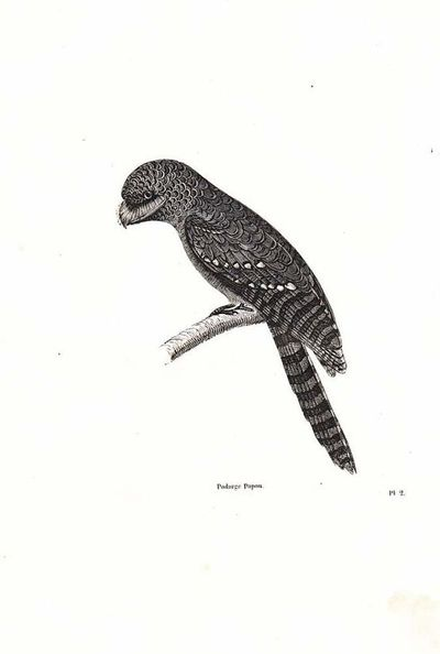 1854 French Bird Engraving Print Papuan Frogmouth by carambas, $15.00