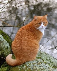 Gorgeous Ginger & White Cat by Mats