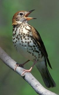 [][][] Wood Thrush. Family Turdidae.