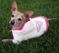Chiweenie in adorable SuperGirl hoodie. #dogclothes