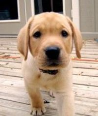 yellow labs :)