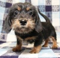Shih Tzu/Dachshund - accidental little cutie