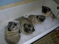 Pug bath Funny pictures