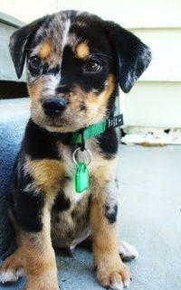 Baby Hoyt (Catahoula) OH MY GOSH SO CUTE