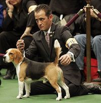 Beagle! Westminster Dog Show