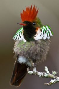 '�'�Frilled Coquette'�'� by Sergio Coutinho
