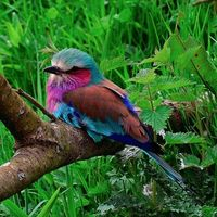 Lilac-Breasted Roller by tommyld