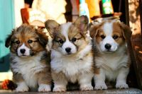 8 week old corgi puppies!